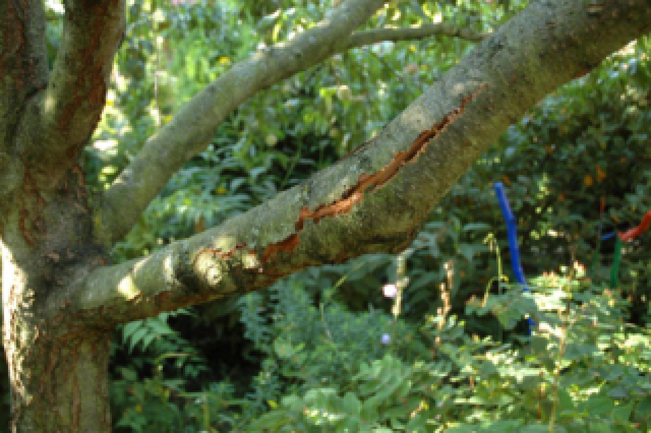 schwere last am pfirsichbaum garten frage und antwort wochenblatt f r landwirtschaft. Black Bedroom Furniture Sets. Home Design Ideas