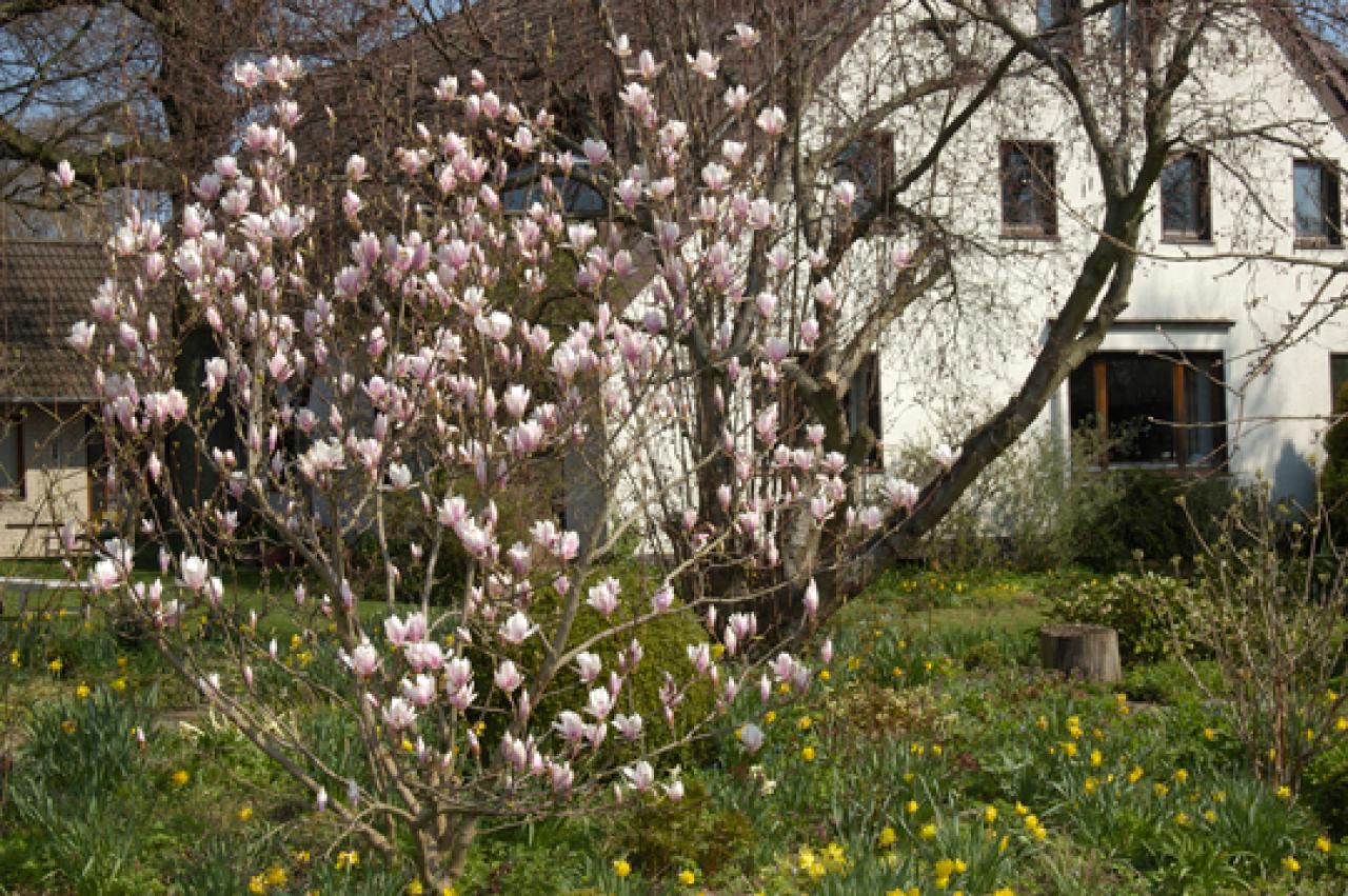 wann magnolie schneiden garten frage und antwort wochenblatt f r landwirtschaft landleben. Black Bedroom Furniture Sets. Home Design Ideas