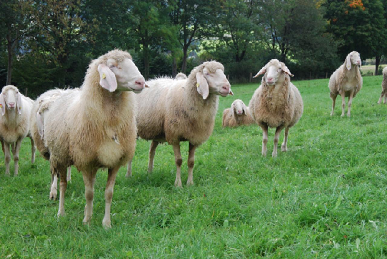 Schafe halten tiere frage und antwort wochenblatt for Schafe halten im garten