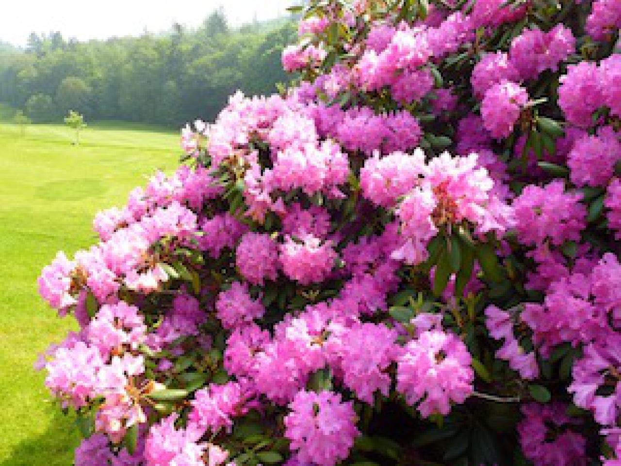rhododendron verliert bl tter tiere frage und antwort wochenblatt f r landwirtschaft. Black Bedroom Furniture Sets. Home Design Ideas