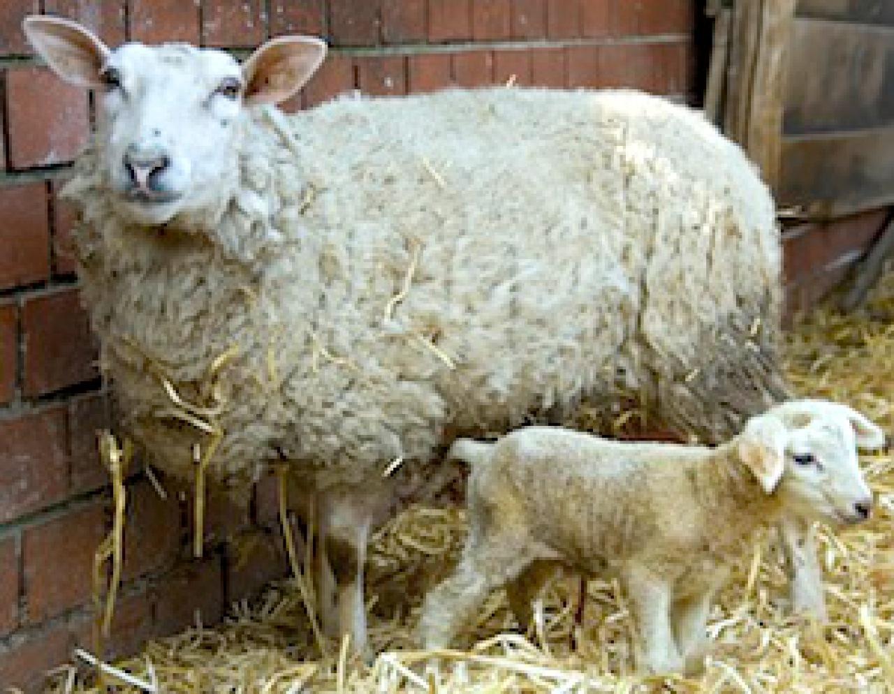 Kupfer f r schafe bedenklich tiere frage und antwort for Schafe halten im garten