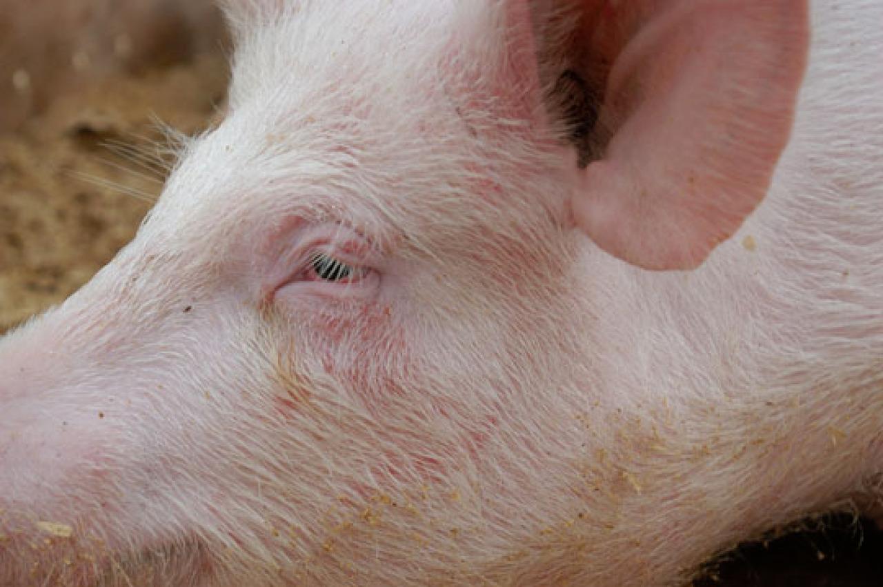 Europa produziert weniger Schweine