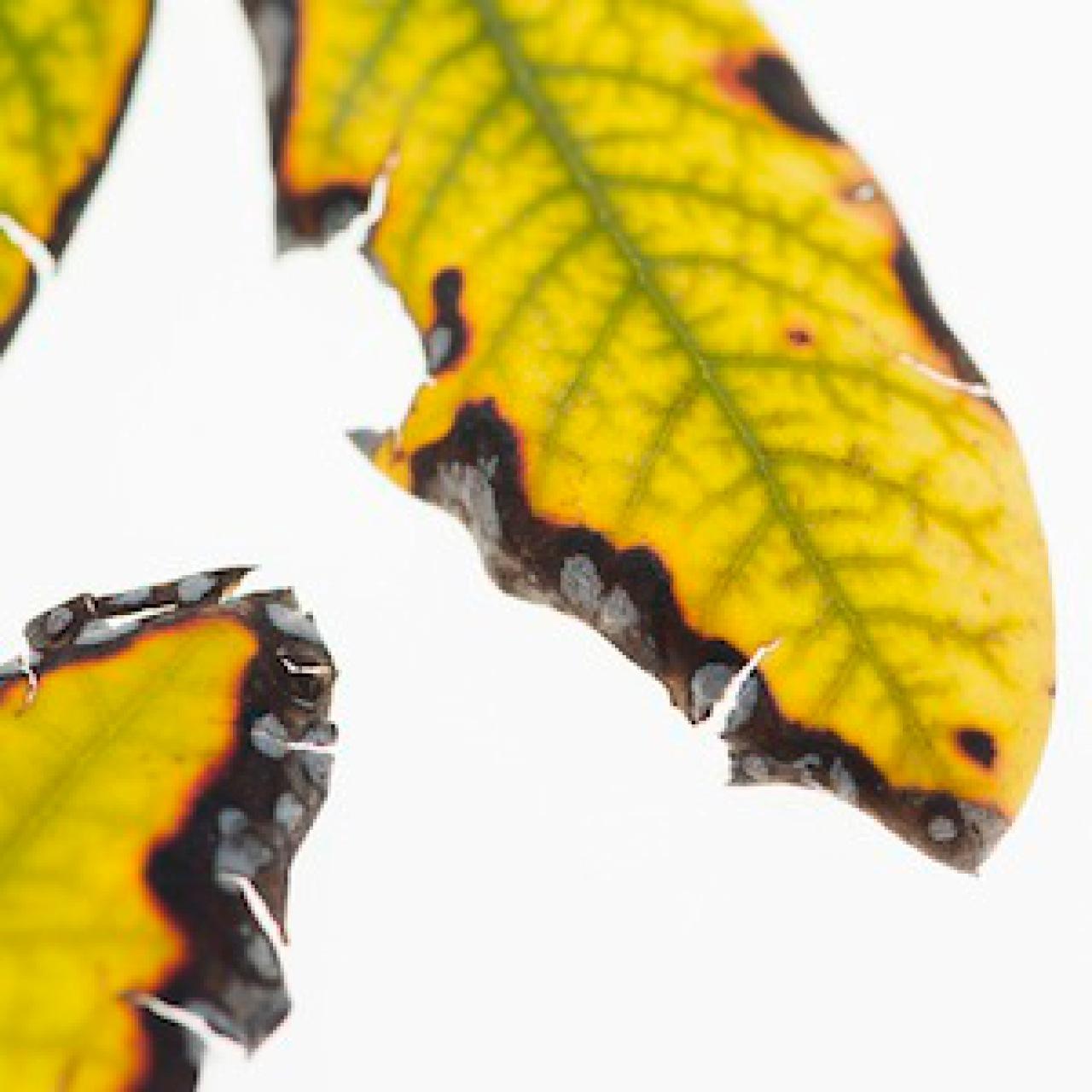 gelbbl ttrige rhododendren garten frage und antwort wochenblatt f r landwirtschaft landleben. Black Bedroom Furniture Sets. Home Design Ideas